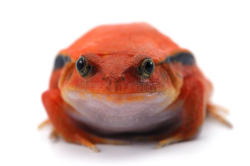在白色背景隔绝的红色蕃茄青蛙 免版税库存图片