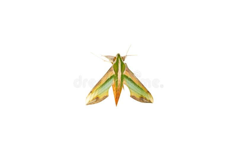 在白色背景隔绝的绿色叶子昆虫 免版税库存图片