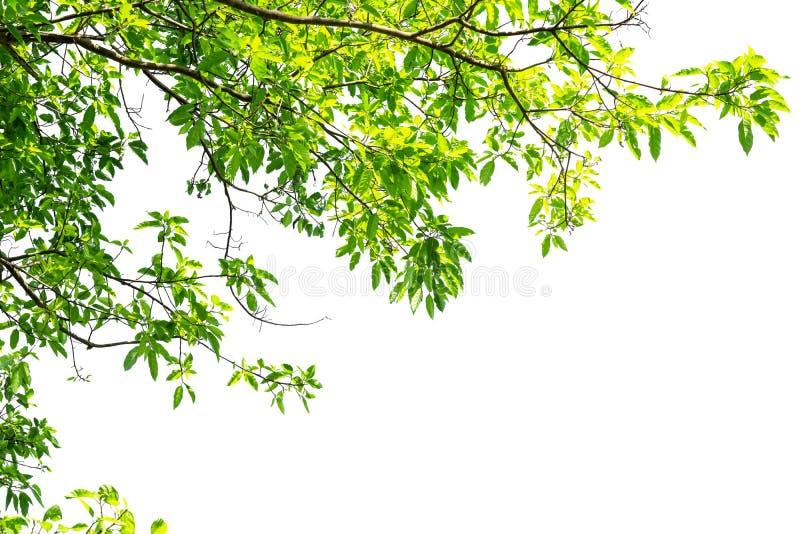 在白色背景隔绝的绿色树枝边界 免版税库存图片