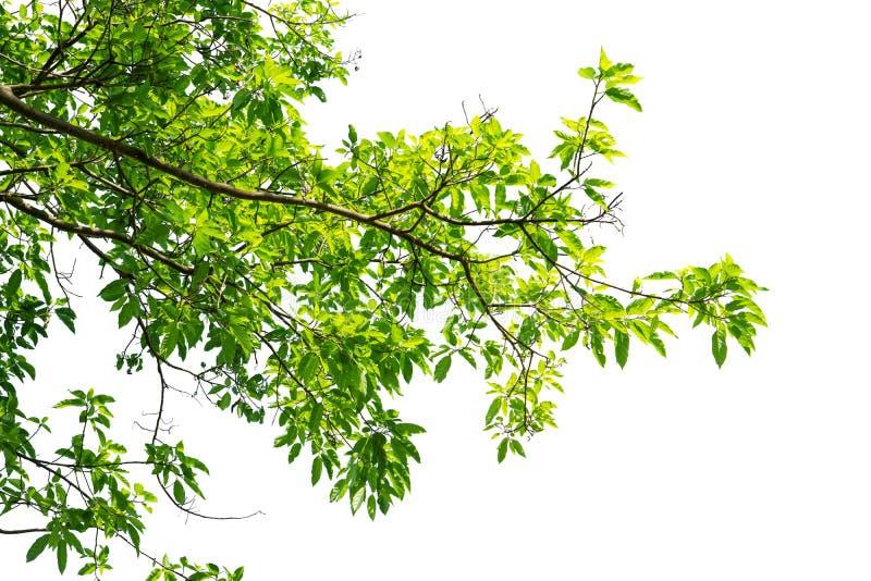 在白色背景隔绝的绿色树枝边界 库存照片