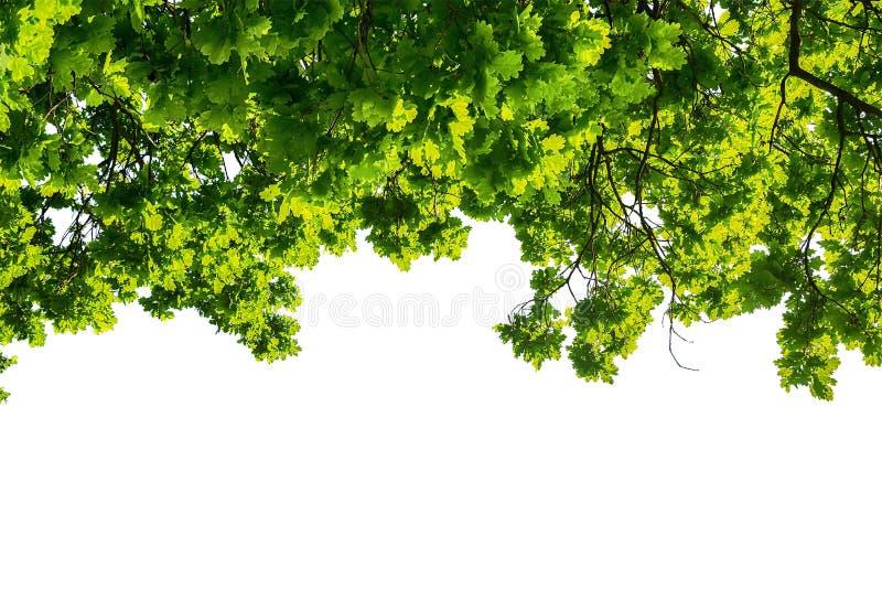 在白色背景隔绝的绿色橡木叶子 图库摄影