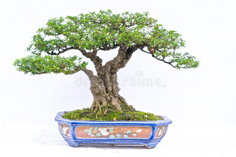 在白色背景隔绝的绿色老盆景树在形状的一个盆栽植物中 免版税库存图片
