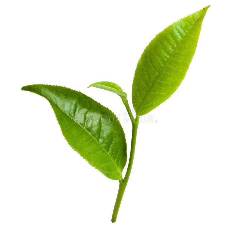 在白色背景隔绝的绿色茶叶 免版税图库摄影