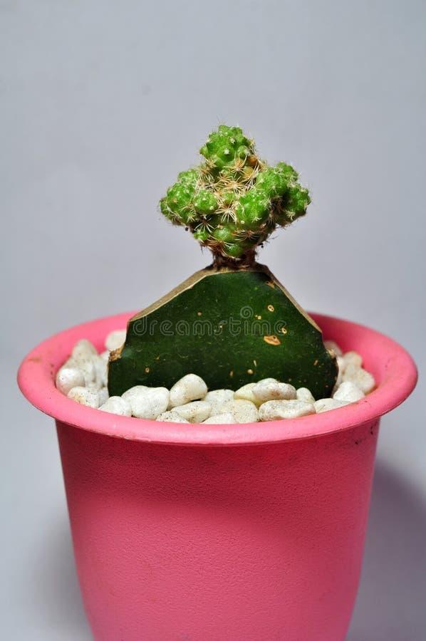 在白色背景隔绝的罐的仙人掌植物 免版税库存照片