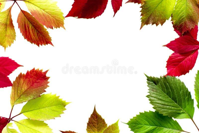 在白色背景隔绝的美丽的五颜六色的秋叶 库存图片
