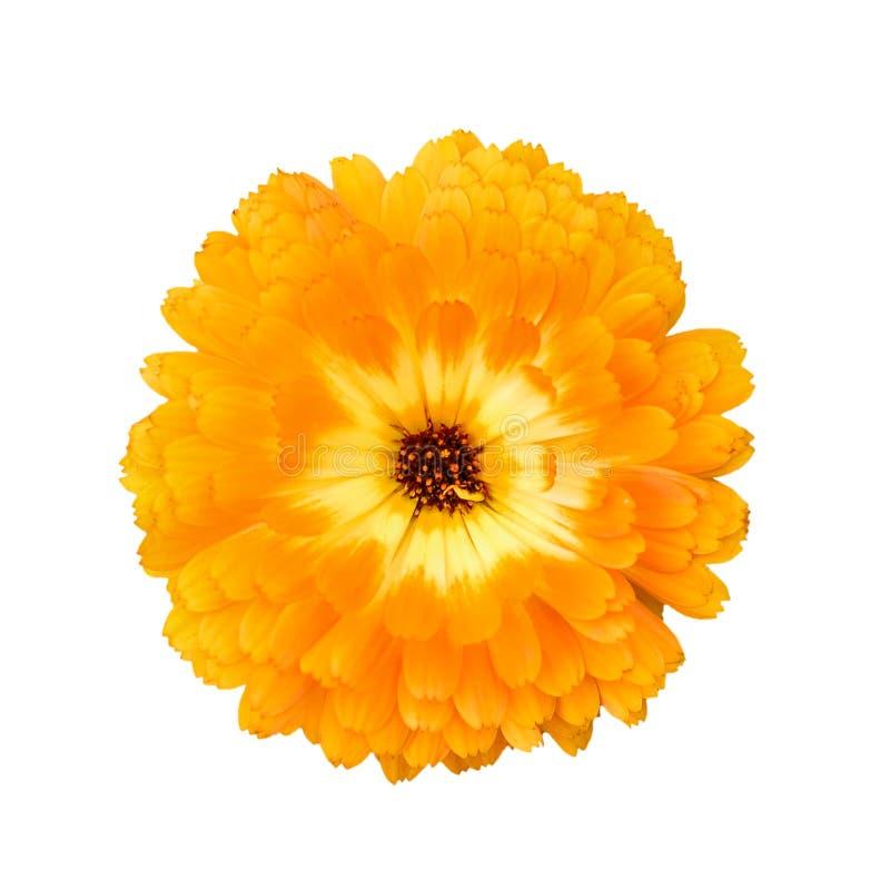 在白色背景隔绝的美丽的桔子充分地开放万寿菊花 明亮的橙色tagetes,万寿菊关闭  免版税库存图片
