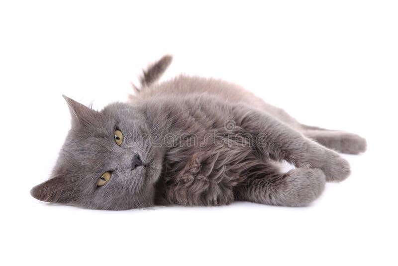 在白色背景隔绝的美丽的灰色猫 图库摄影