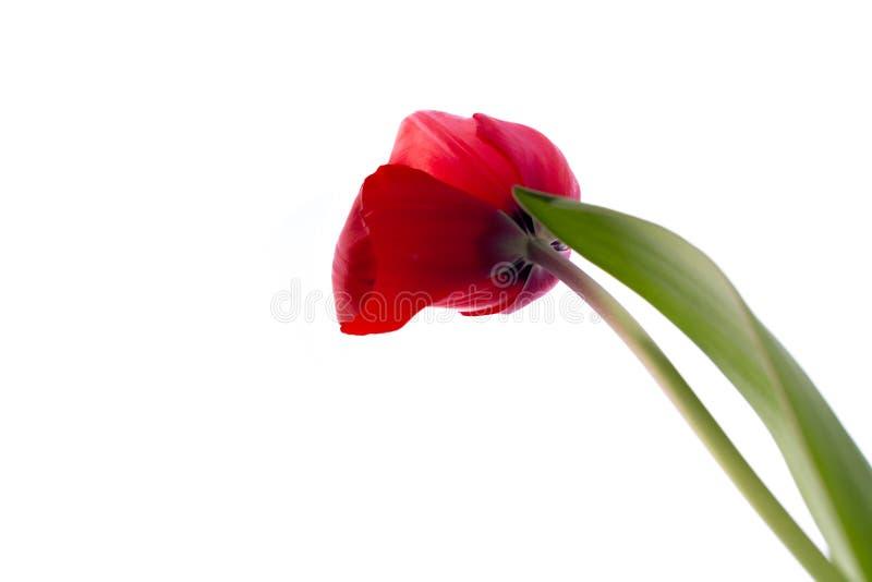 在白色背景隔绝的美丽的红色郁金香 免版税库存图片
