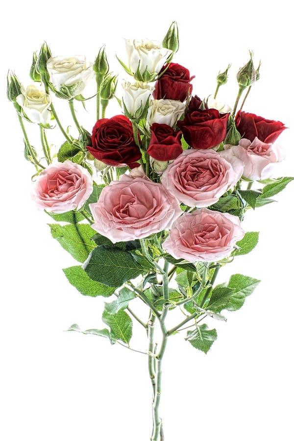 在白色背景隔绝的色的玫瑰色花花束  库存照片
