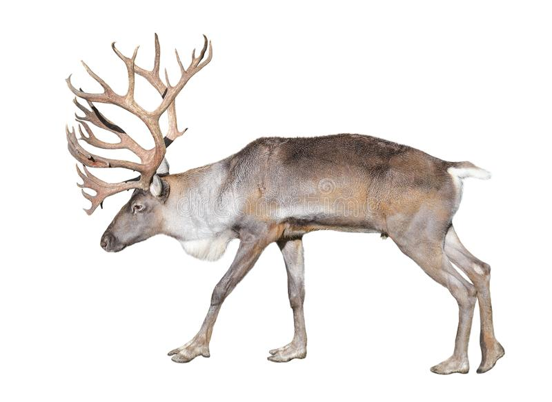 在白色背景隔绝的芬兰森林驯鹿 免版税库存照片