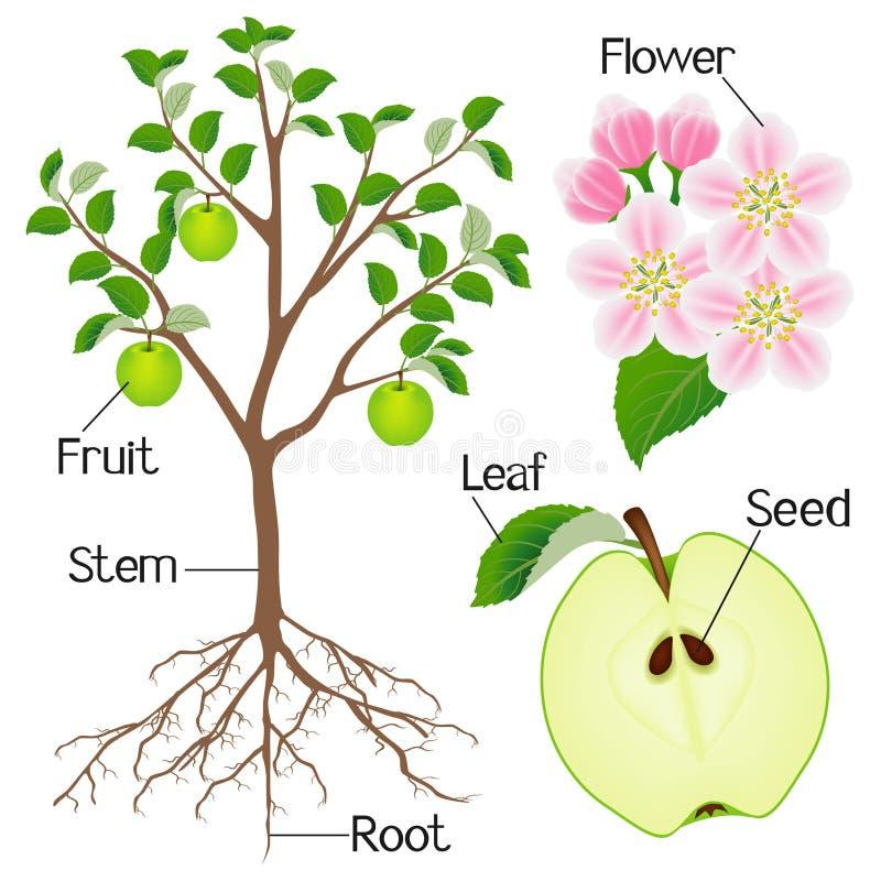 在白色背景隔绝的苹果树植物结构 库存例证