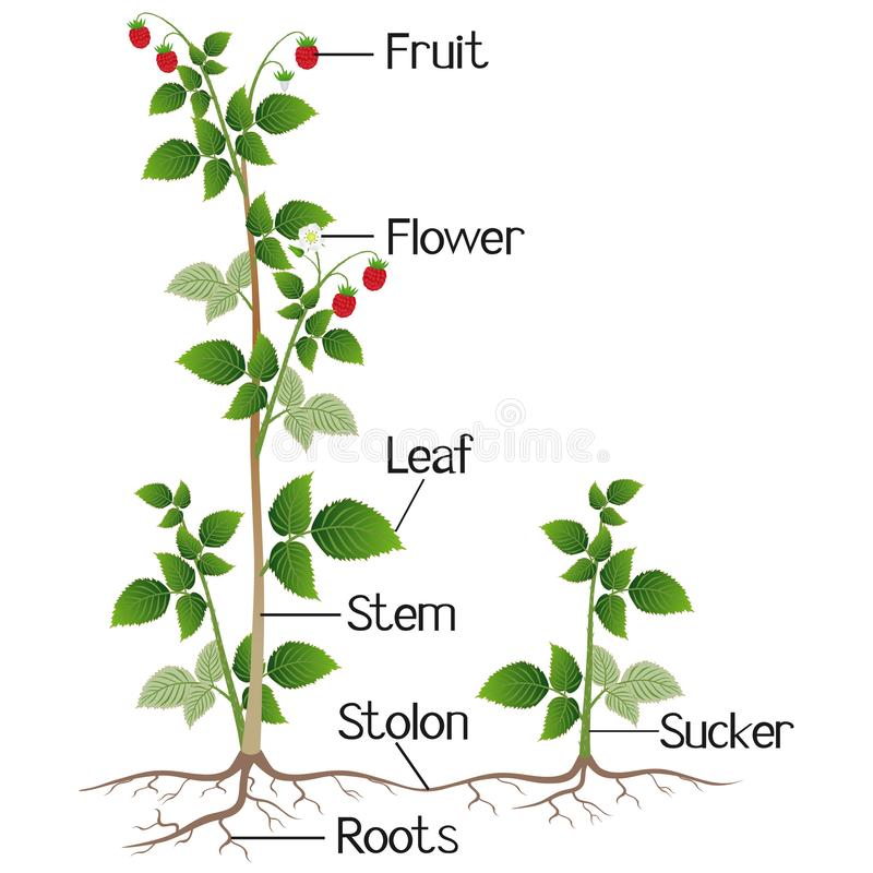 在白色背景隔绝的莓植物的部分 库存例证