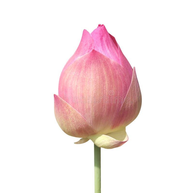 在白色背景隔绝的莲花芽,莲花桃红色特写镜头照片,莲花芽桃红色花,美丽的芽桃红色自然 库存照片