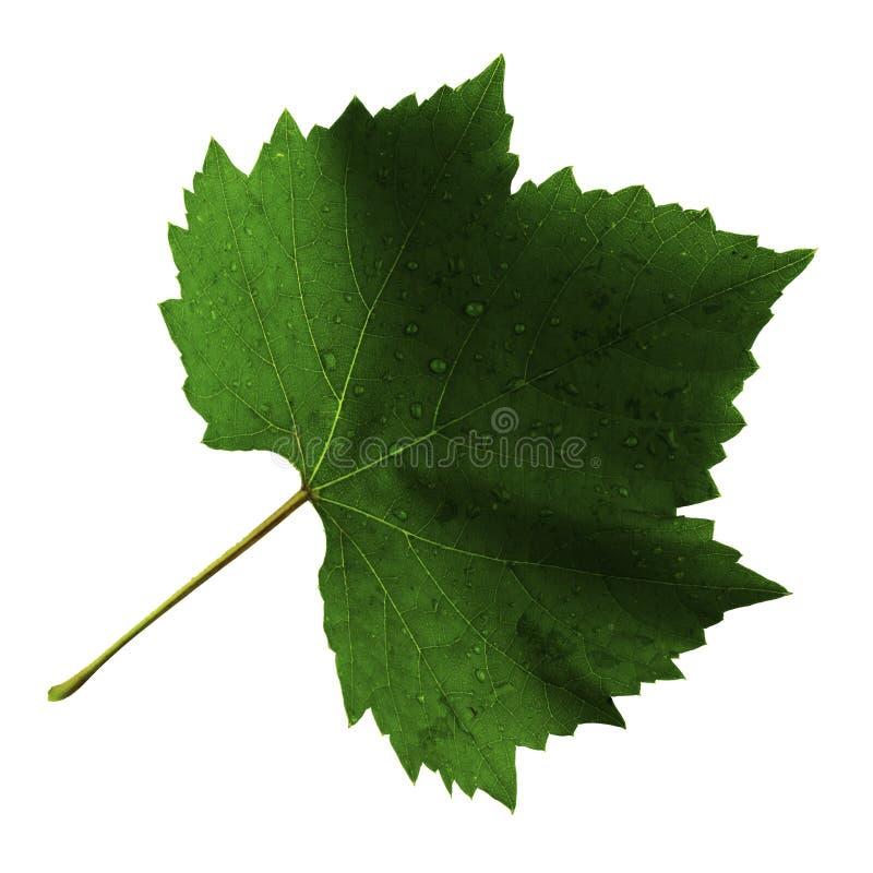 在白色背景隔绝的葡萄一片叶子,叶子的顶端 图库摄影