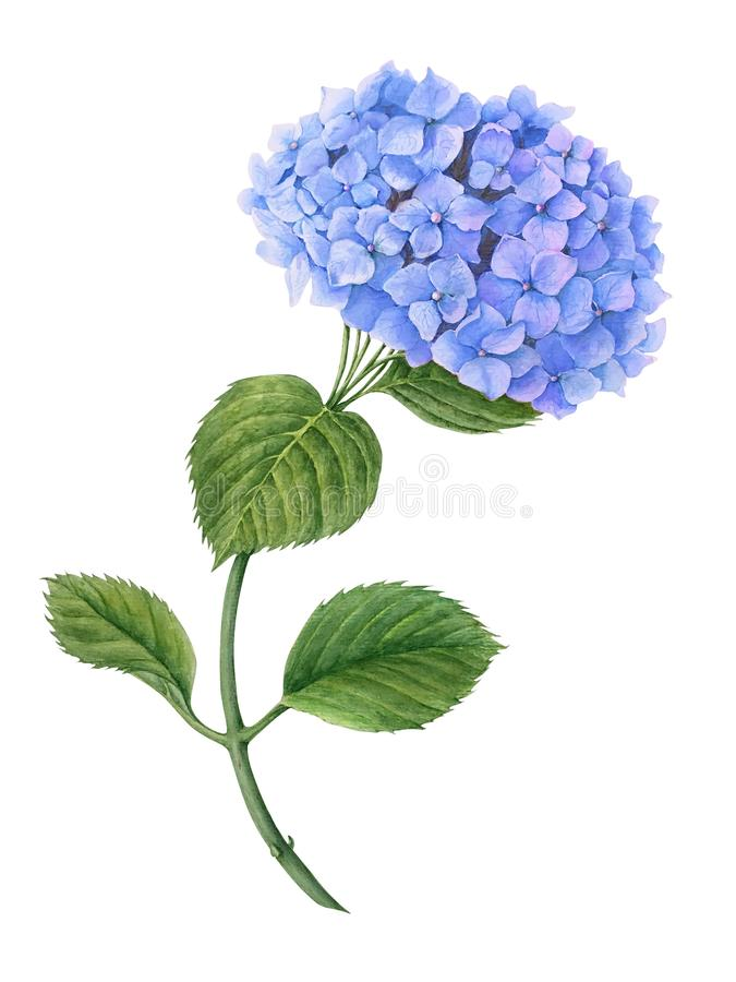 在白色背景隔绝的蓝色八仙花属水彩例证 库存图片