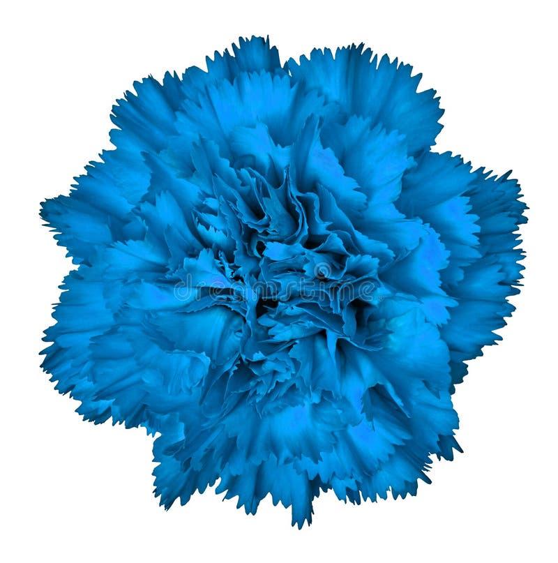 在白色背景隔绝的蓝色康乃馨花 特写镜头 图库摄影