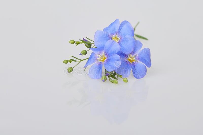 在白色背景隔绝的蓝色胡麻花 库存照片