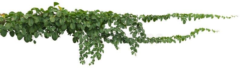 在白色背景隔绝的藤植物 裁减路线 免版税库存照片