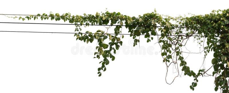 在白色背景隔绝的藤植物 裁减路线 库存图片