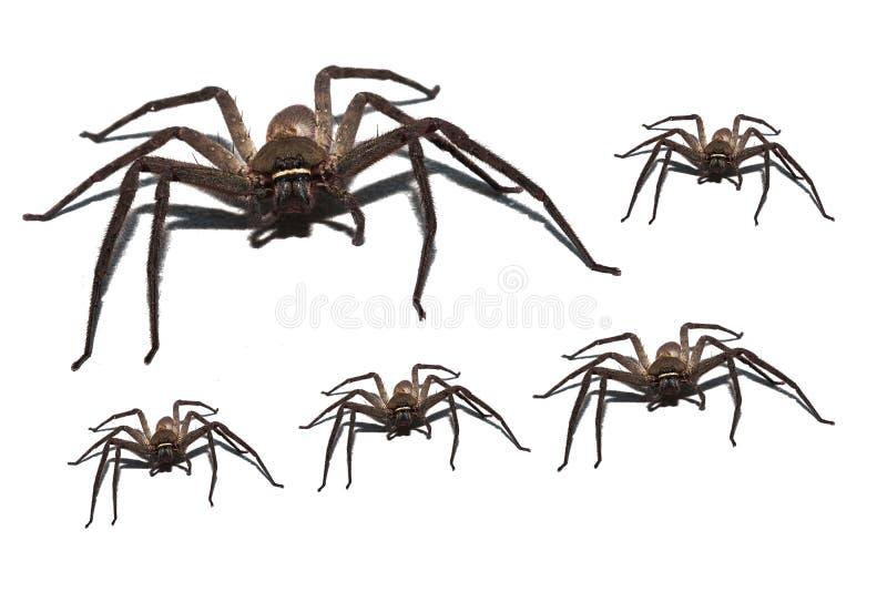 在白色背景隔绝的蜘蛛狼 库存图片