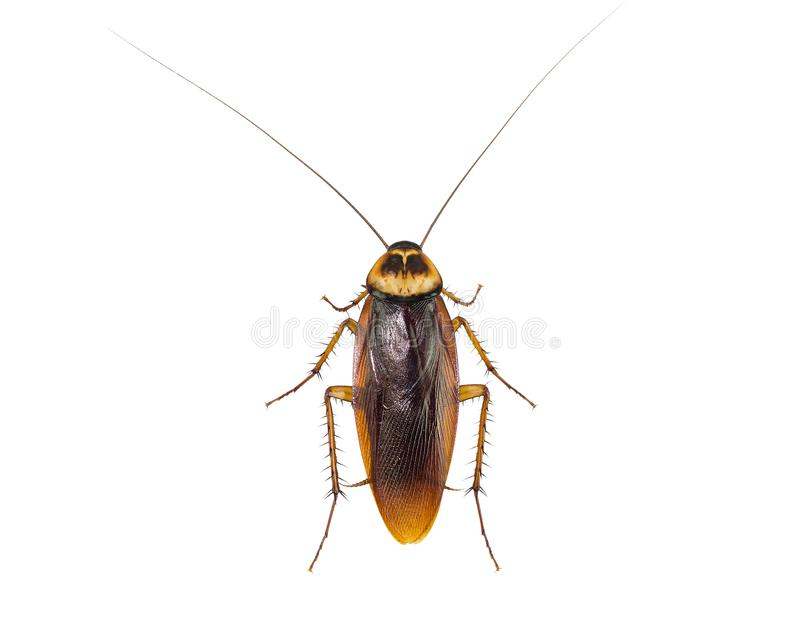 在白色背景隔绝的蟑螂 库存照片