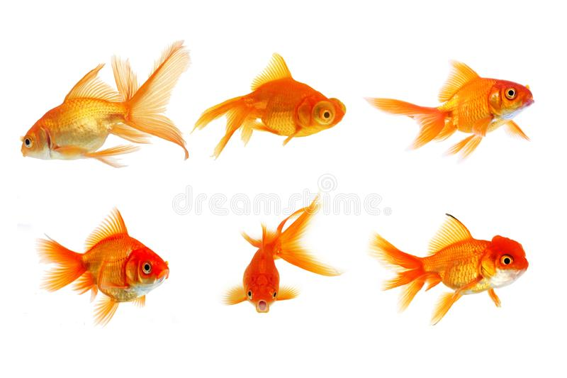 在白色背景隔绝的设置金鱼 库存照片