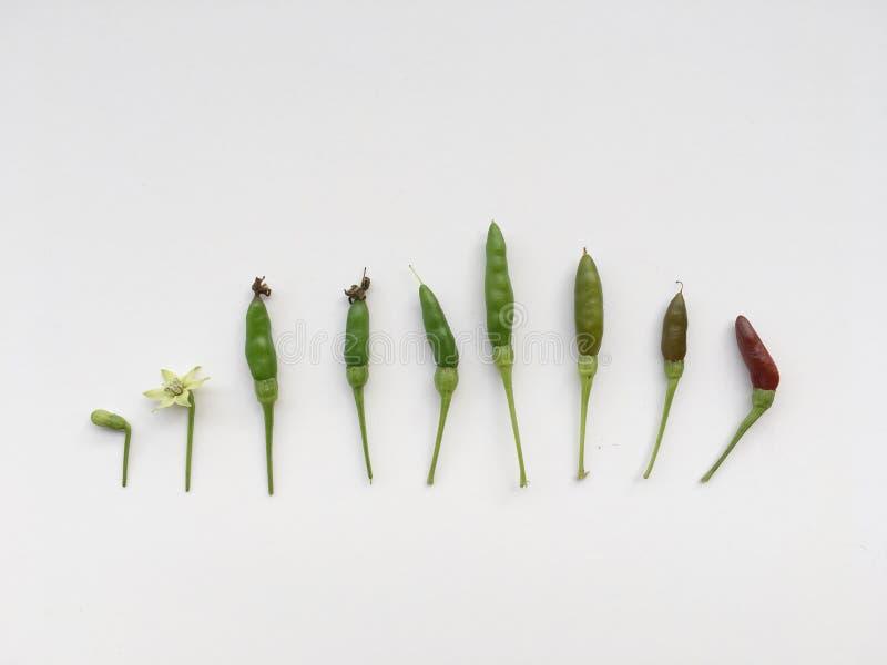 在白色背景隔绝的辣椒增长的步 免版税库存图片