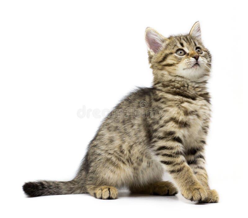 在白色背景隔绝的逗人喜爱的小平纹小猫开会 孩子动物和可爱的猫概念 免版税库存照片