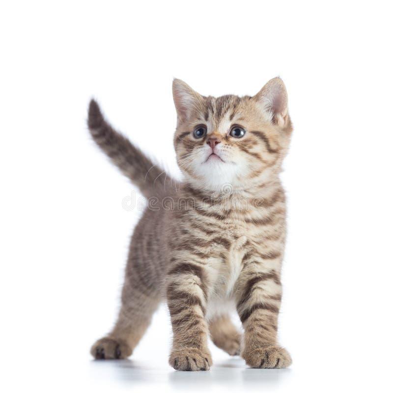 在白色背景隔绝的逗人喜爱的小平纹小猫 免版税库存图片