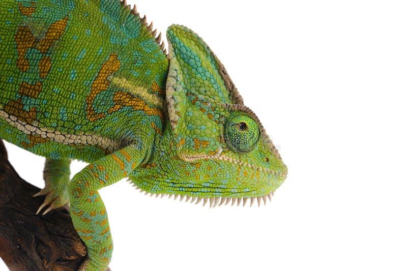 在白色背景隔绝的遮遮掩掩变色蜥蜴 免版税图库摄影