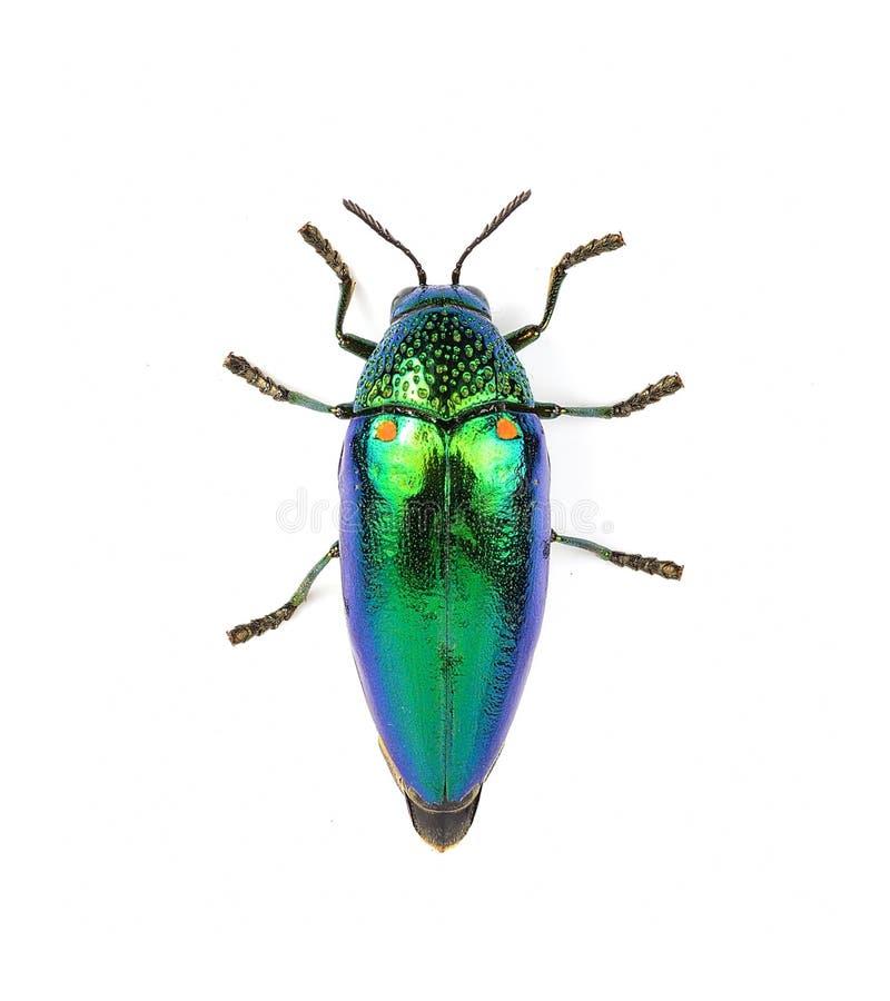 在白色背景隔绝的金属木头乏味甲虫 免版税库存照片