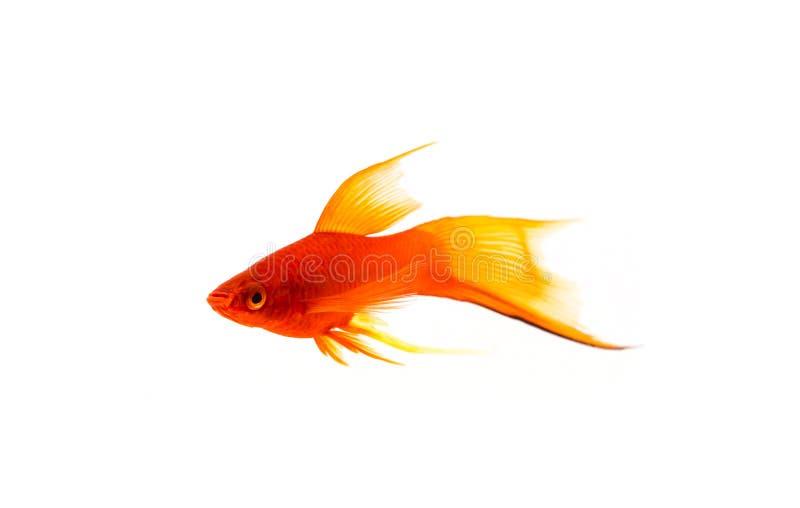 在白色背景隔绝的金鱼 一点在白色背景的红色鱼 免版税图库摄影