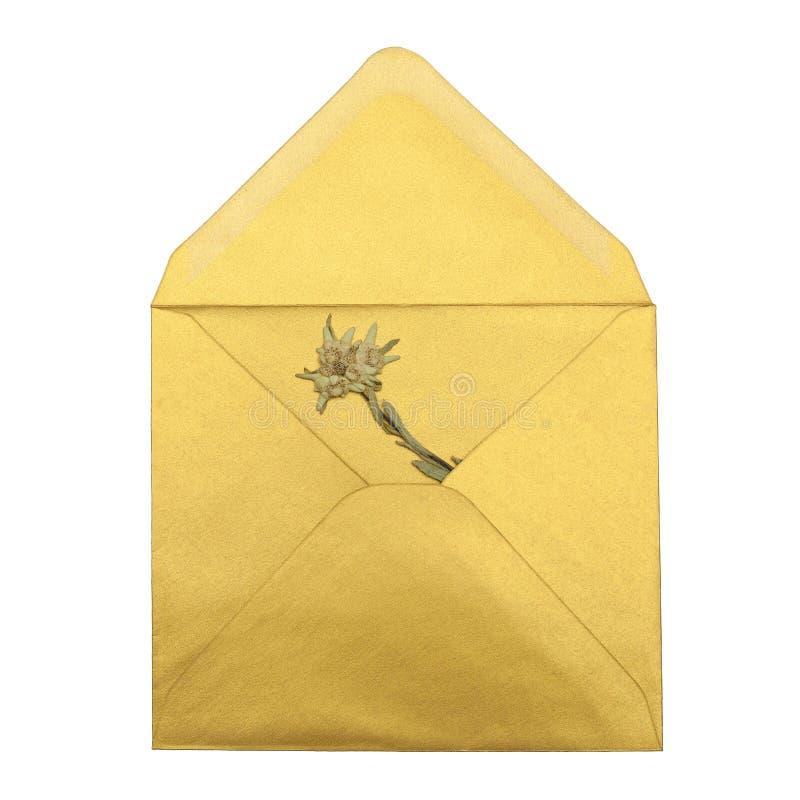 在白色背景隔绝的金黄信封的干edelweiss 库存照片