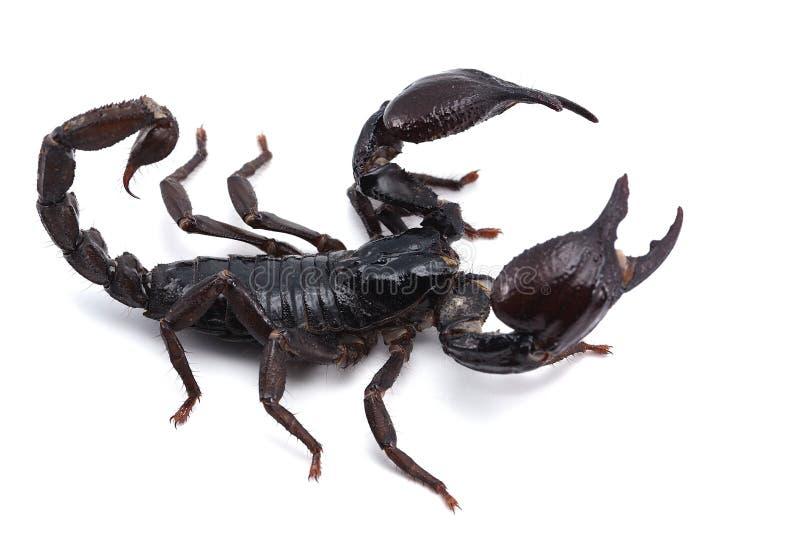在白色背景隔绝的非洲毒液蝎子 库存照片