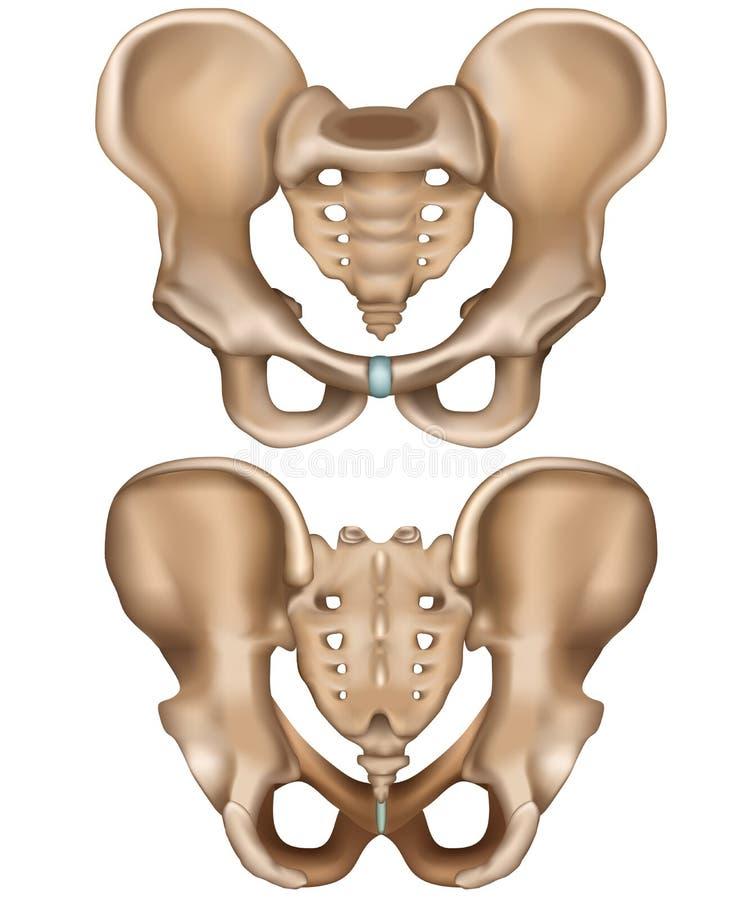 在白色背景隔绝的骨盆熟悉内情的例证在前后视图 库存例证
