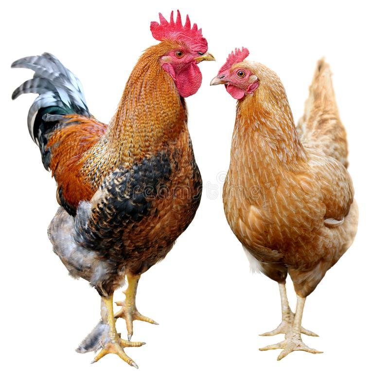 在白色背景隔绝的鸡五颜六色的雄鸡布朗母鸡 图库摄影