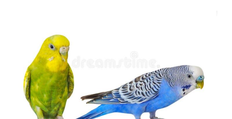在白色背景隔绝的黄色和蓝色鹦哥 Melopsittacus undulatus 鹦哥关闭在鸟笼 库存照片
