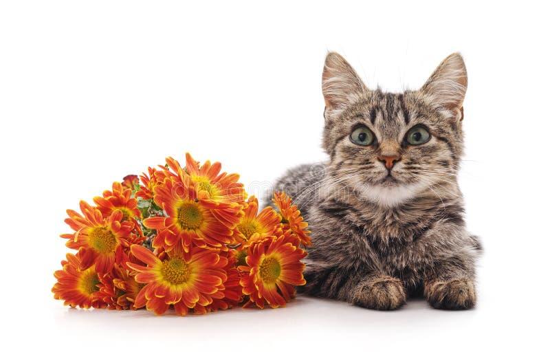 在白色背景隔绝的黄色雏菊花附近的逗人喜爱的小的小猫 库存图片
