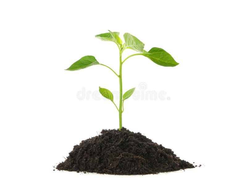在白色背景隔绝的黑土壤的树苗幼木 ?? 免版税库存照片