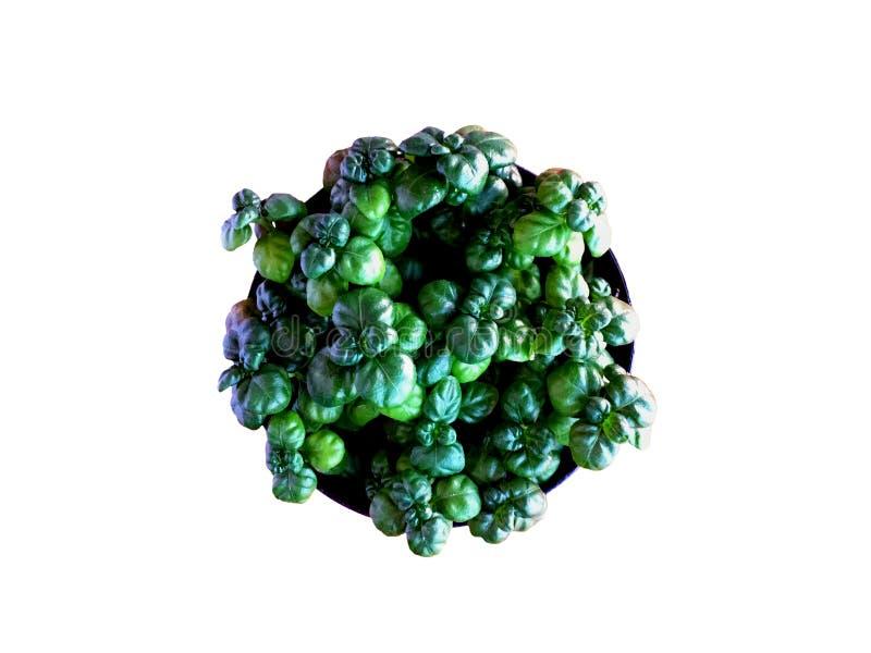 在白色背景隔绝的黑罐的小绿色珍珠植物 免版税库存图片