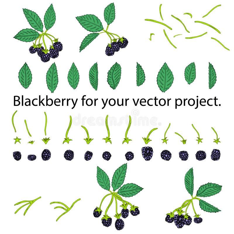 在白色背景隔绝的黑莓 您的传染媒介项目的分开的元素 库存例证
