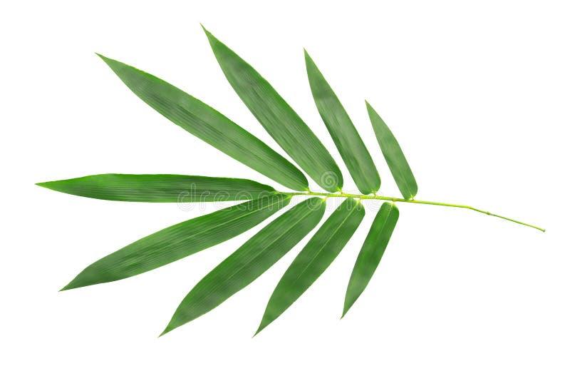 在白色背景隔绝的plam树绿色叶子 库存照片