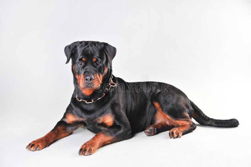 在白色背景隔绝的Rottweiler狗 库存照片