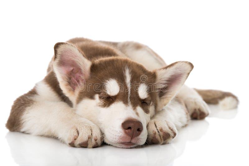 在白色背景隔绝的Sibirian多壳小狗睡觉 库存照片