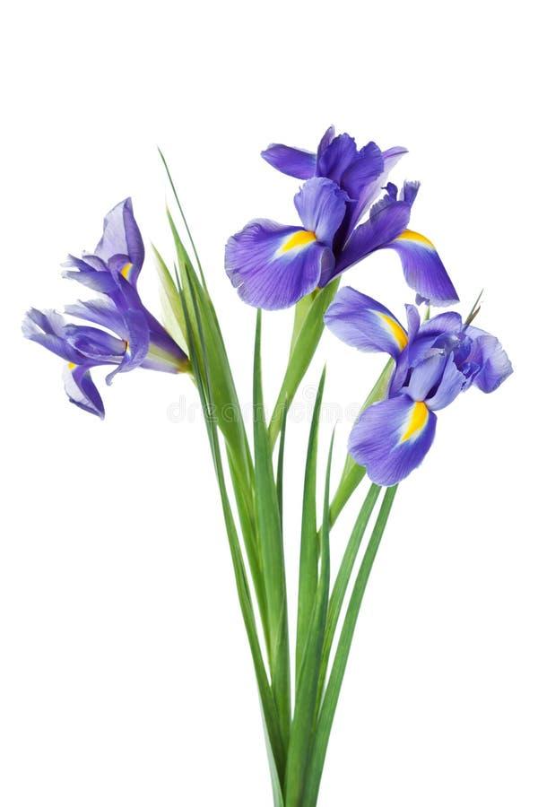 在白色背景隔绝的三朵虹膜花,美丽的春天植物 免版税库存照片