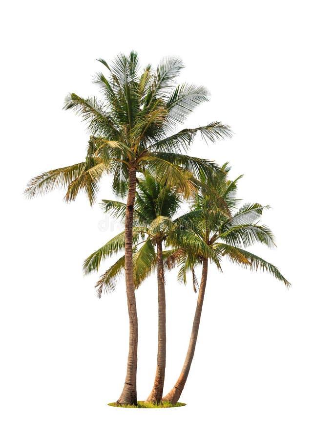 三棵可可椰子树 免版税库存照片