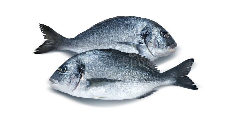在白色背景隔绝的两条平行的dorado鱼 库存图片