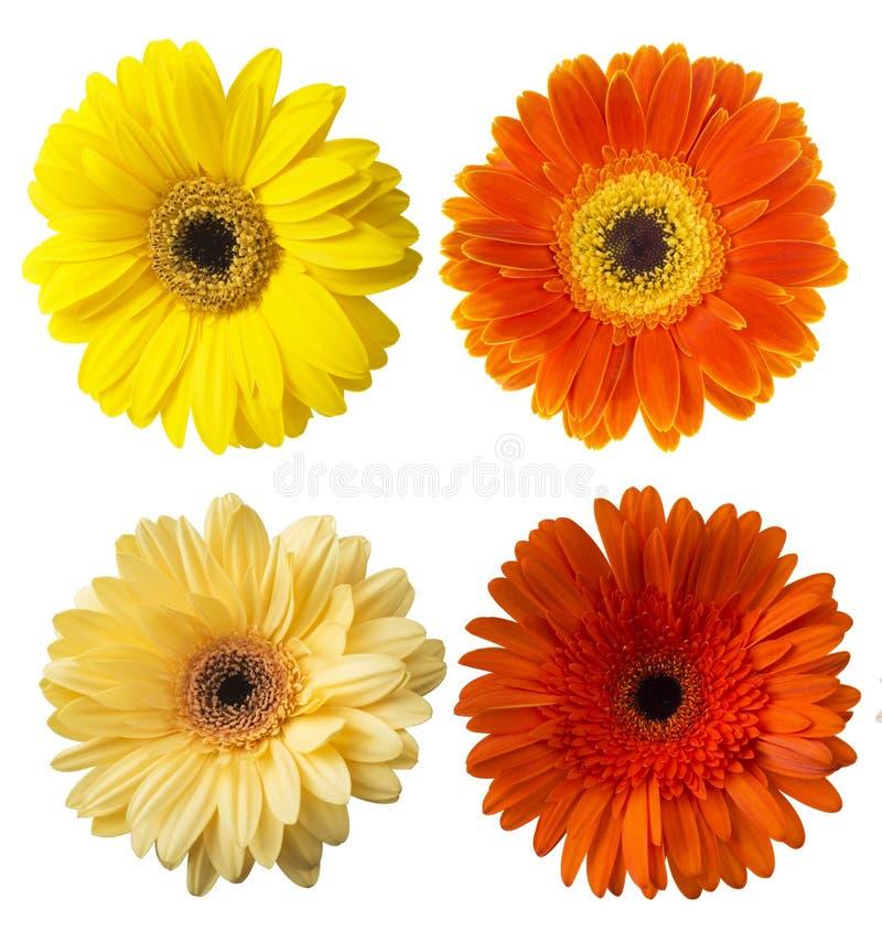 在白色背景隔绝的五颜六色的大丁草花大丁草jamesonii的大选择 免版税库存照片