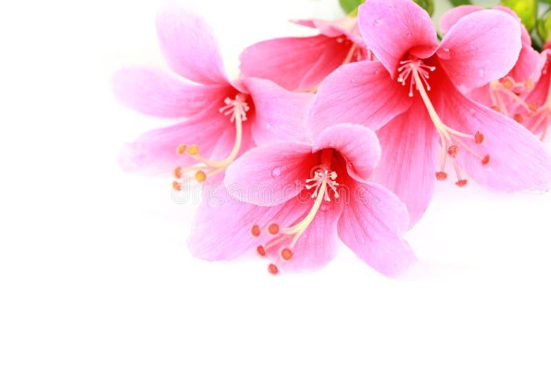 在白色背景隔绝的五颜六色的桃红色木槿花 库存照片