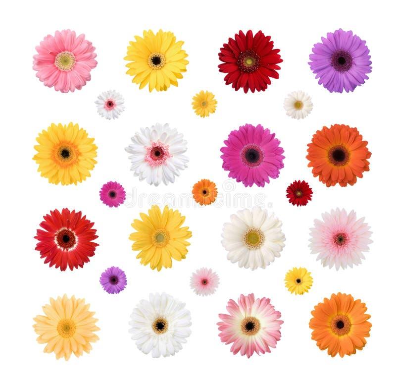 在白色背景隔绝的五颜六色的雏菊 图库摄影